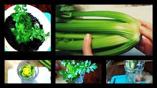 셀러리 수경재배. 가정에서 셀러리 키우기. 식물이야기