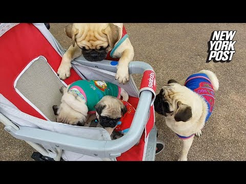 Pugs Push Their Cute Pug Puppies In A Stroller | New York Post