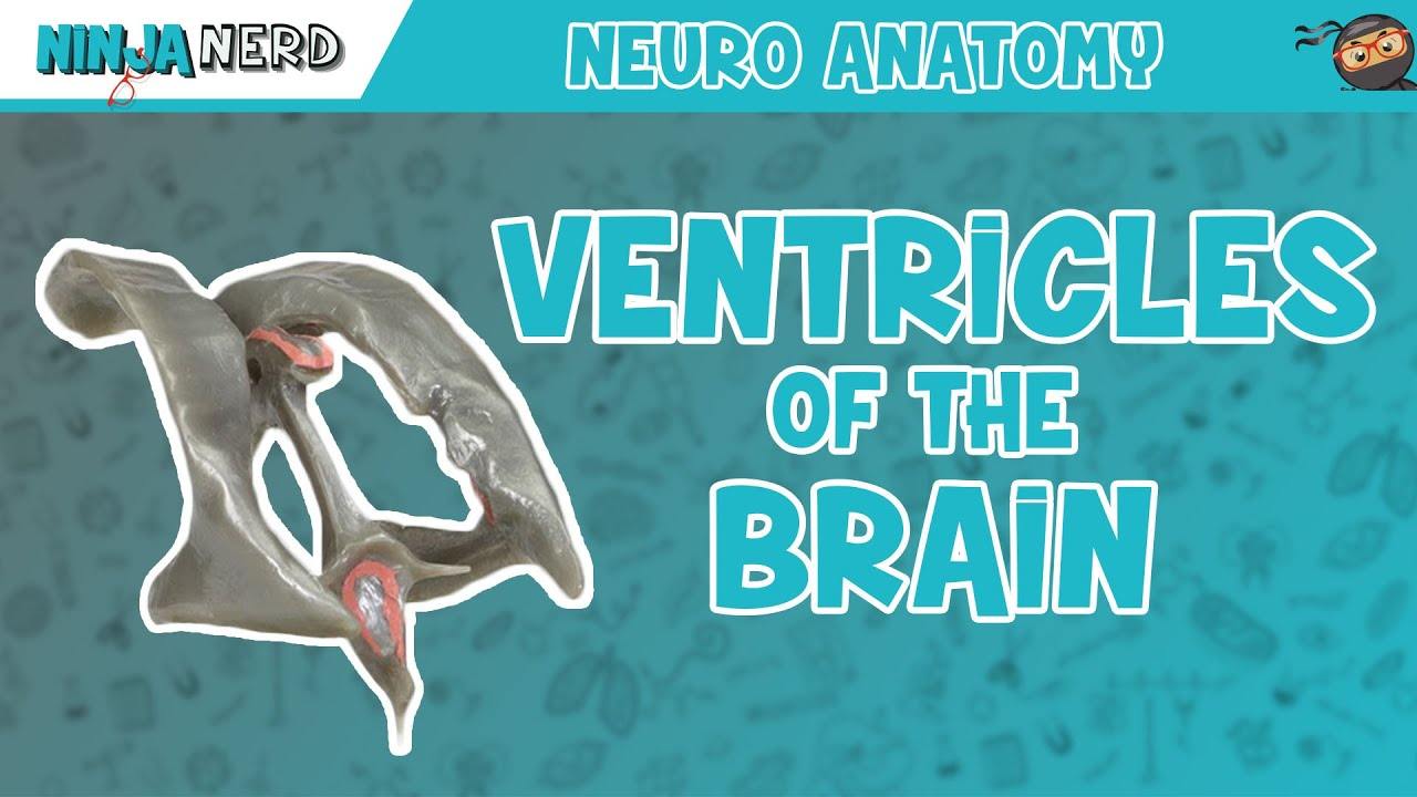 Ventricles of the Brain | Anatomy Model - YouTube