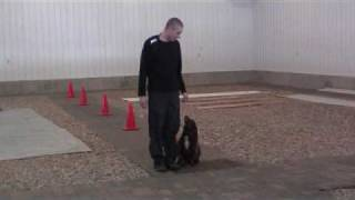 English Cocker Spaniel Coco - Obedience Level Iii. Graduate