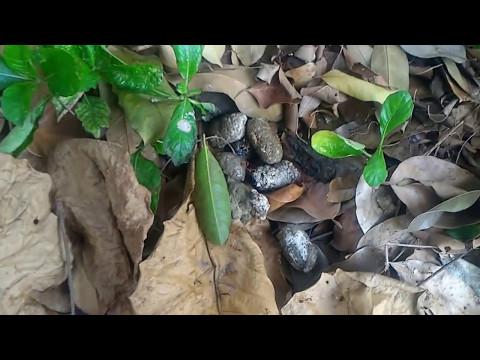 Berburu daun ketapang untuk ikan cupang