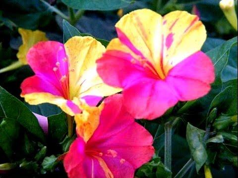 Цветок ночная красавица семян 86