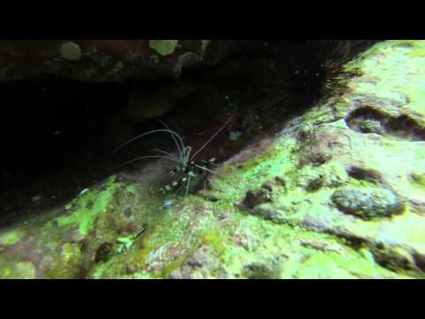 Banded boxer shrimp @ High Rock