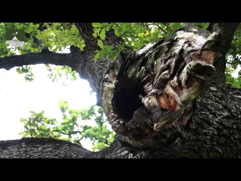 Stejarul din Mercheasa