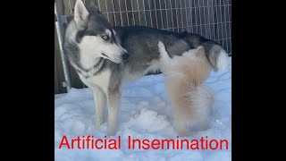 Artificial Insemination in Dogs  Pomeranian Male and Husky Female