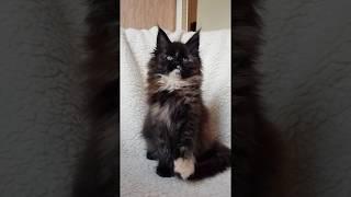 Gracia MOS Lakshestar котенок мейн кун 2 месяца и 5 дней.