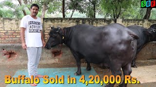 25 kg Milk Capacity Buffalo sold in 4,20,000. Now Owner- Rajiv Sarpanch Andhra Pardesh
