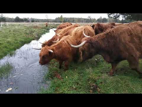Szkockie Krowy Przejście Do Wodopoju