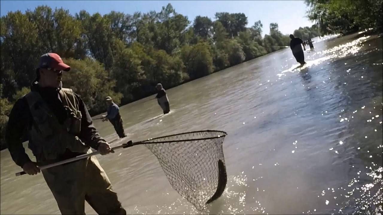 Pink Salmon (Humpy) | Puyallup River | 8 26 17