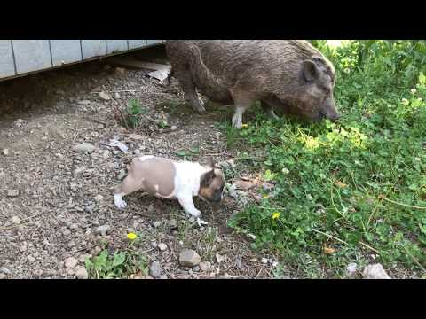 The Miniature pig Cinnamon & Ripley the French Bulldog puppy of Magnum French Bulldogs