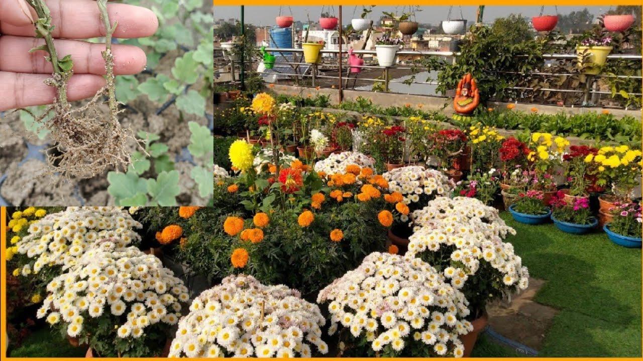 गुलदाउदी की तैयार पौधे को लगाने का सही तरीका and care ||guldavari plant cutting update