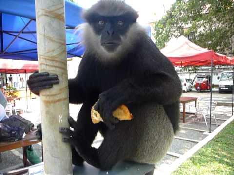 Sri Lanka,ශ්රී ලංකා,Ceylon,Monkey eating (01)