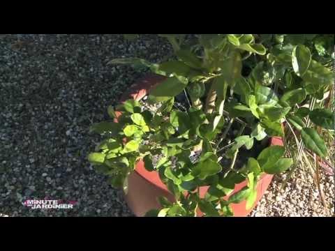 Zoom sur la culture des agrumes en pot jardinerie tru - Comment tailler la menthe ...