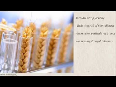 Genetically Modified Wheat and its' impact on environmental sustainability