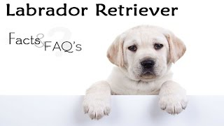 Labrador Dogs Facts In Hindi | Dog Facts | Popular Dogs | The Ultimate India