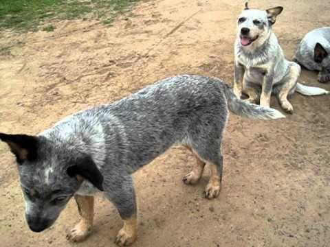 Australian Cattle Dog (Blue Heeler) - Dom Pedrito/RS