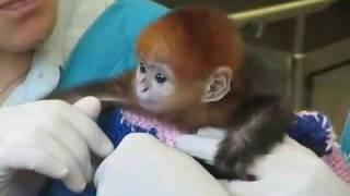 Baby Monkey Bath Cutest Video Ever!