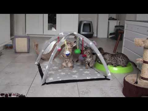 Meulicats Ocicats kittens Espresso 2019 12 23