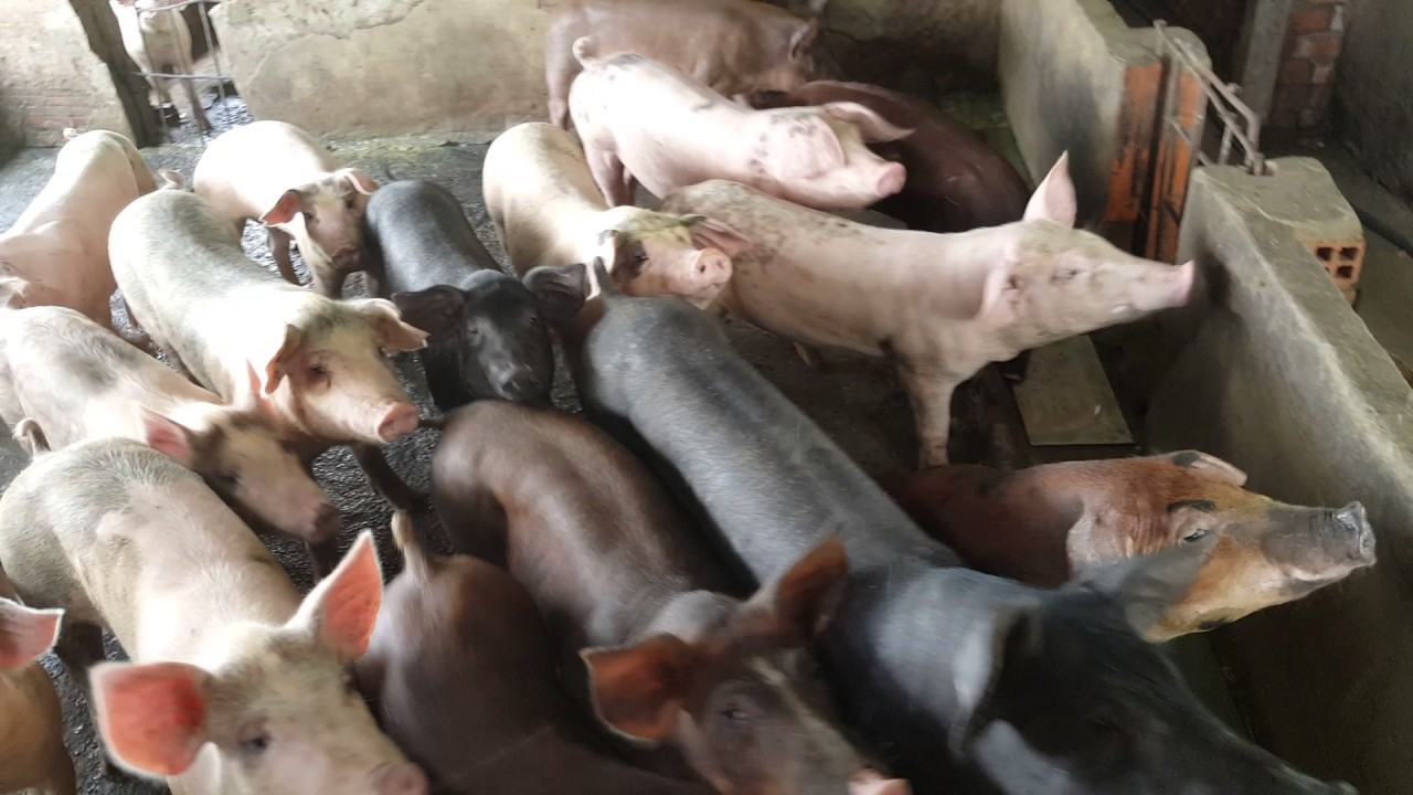Local Pig Farm Visit At Cu Chi Ho Chi Minh Vietnam Youtube