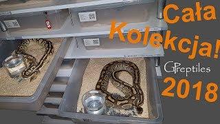 Moja hodowla Pytonów Królewskich - 40 węży!