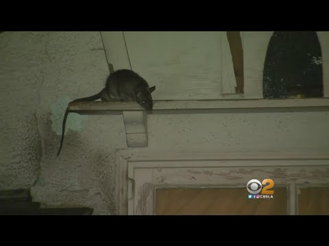 Van Nuys Neighborhood Terrorized By Rat 'Infestation'