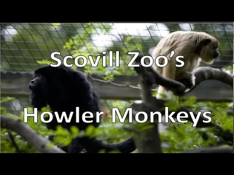 The extremely loud Howler Monkeys (Scovill Zoo) - Episode 153