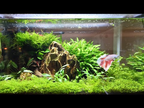 Betta And Cherry Shrimp Aquascape - 6 Month Update