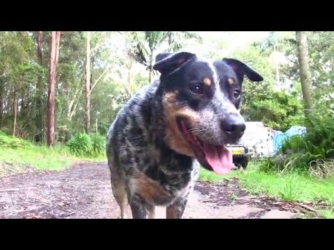 A dog named Blue , an old song starring my bluey cross cattledog Jeb
