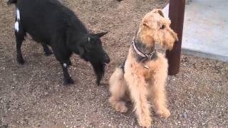 Забавная коза пристает к собаке)))