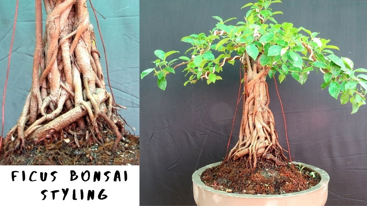 Ficus Bonsai Styling With Update Fused Roots Youtube
