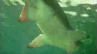 Моцарт Соната Ре мажор №18 KV 576 & Аквариум Сидней Фортепиано Игорь Галенков(Piano & Video Игорь Галенков http://www.musicclassic.ru Скачать видео или всю сонату аудио можно здесь: http://clck.ru/4h5cg Ещё одно..., 2013-12-12T19:31:14.000Z)