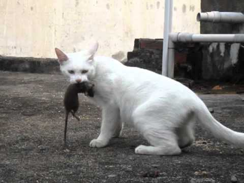 Mèo nhà mình bắt chuột