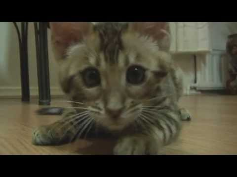 Bengal Kitten Goes BoNkErS!  Meet Cypher - Cutest Cat 8-12 weeks old & already attacking!!