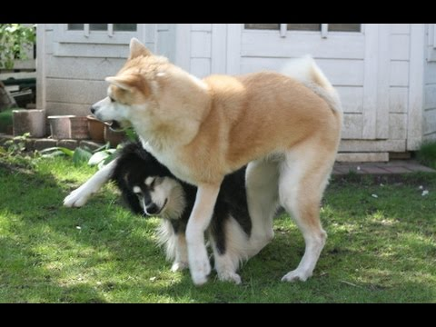 秋田犬 happy play - fight time with Akita Inu and Finnish Lapphund
