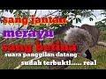 Pikat Kutilang Merayu Kutilang Liar Betina  Mp3 - Mp4 Download