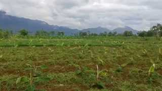 Merits and Demerits of Tissue culture Banana Planted in JiJi Farm Tamilnadu Part 1 .