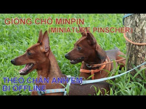 Giống chó MINIATURE PINSCHER / Theo chân anh em đi Off/ NhamTuatTV