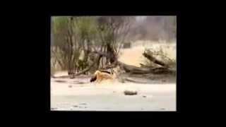 Шакал защищает своих детенышей от гепарда.