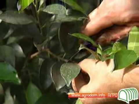 Тропические растения - Фикусы