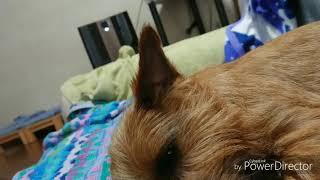 ローソファーで、くつろいでいるアリシアの耳をノーフォークテリアらし...