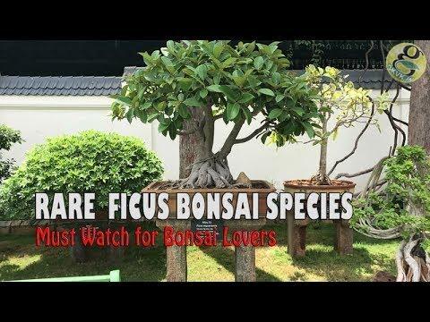 Rare Ficus Bonsai Tree Species Fig Banyan Varieties Garden Museum India Mysore