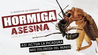 Gambar cover Hormiga bala VS Grillo 😱  Así actúa la PICADURA MAS DOLOROSA DEL MUNDO en otro insecto