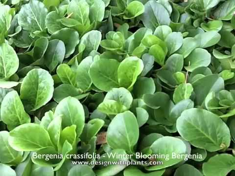 Bergenia Crassifolia - Winter-Blooming Bergenia