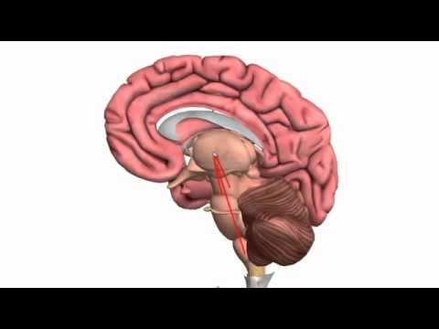 Part 1 - Basic Parts of the Brain 3D Anatomy Tutorial - YouTube
