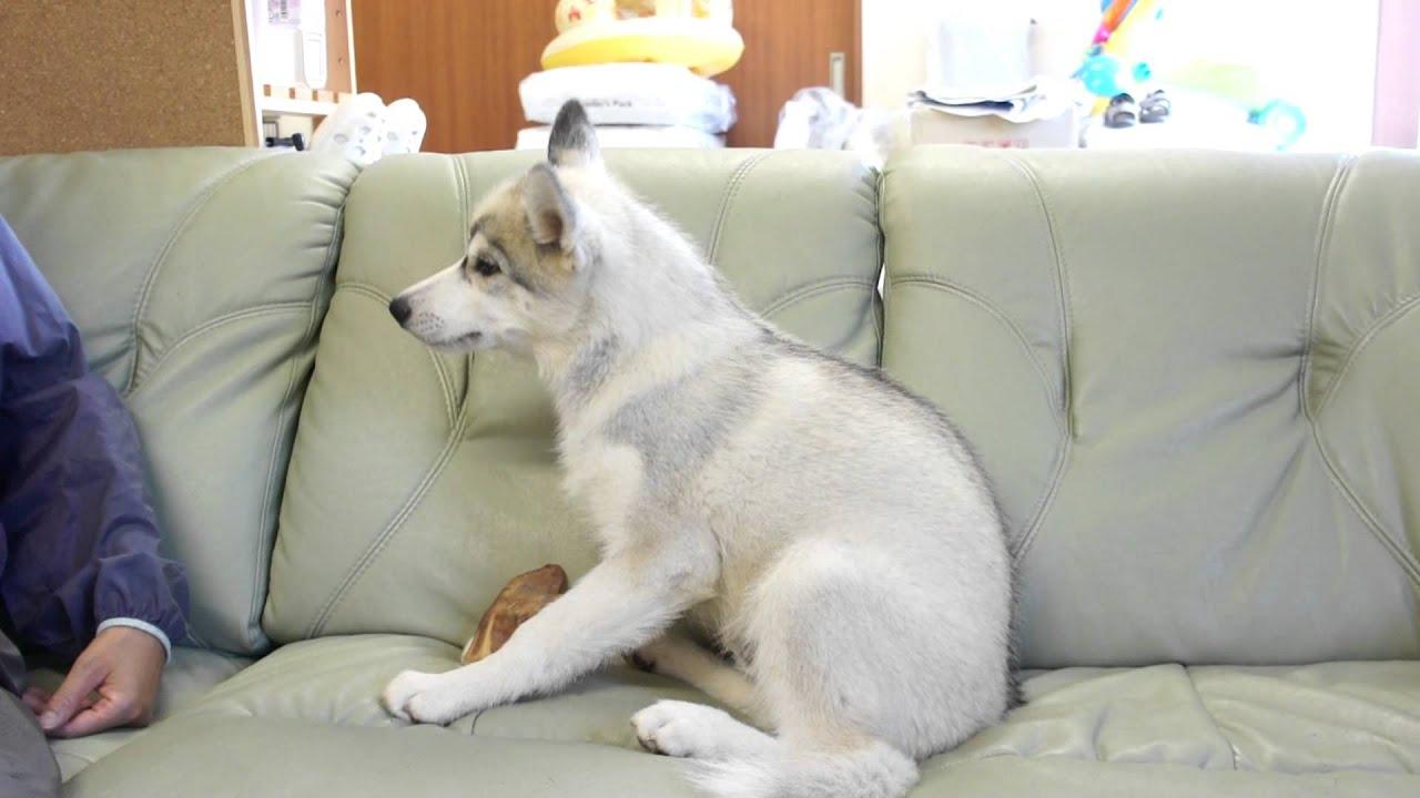シベリアン ハスキー 子犬 シベリアンハスキーのブリーダーを探す|みんなのブリーダー