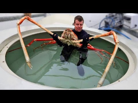 World's Biggest Crab - Japanese Spider Crab