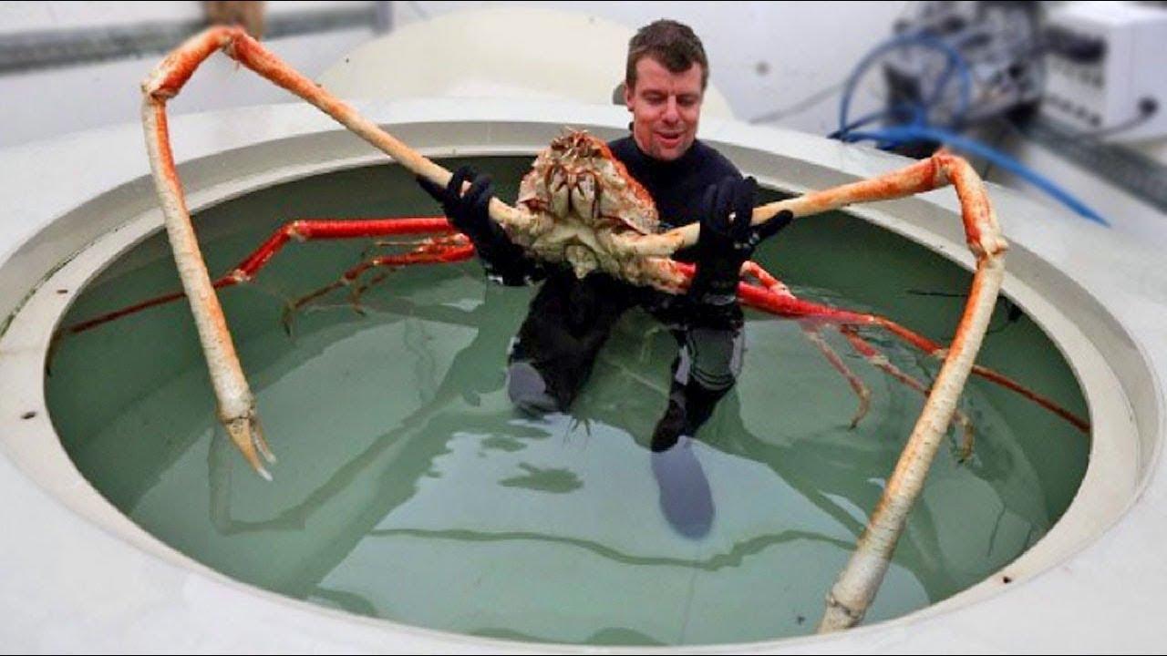 World's Biggest Crab - Japanese Spider Crab - YouTube