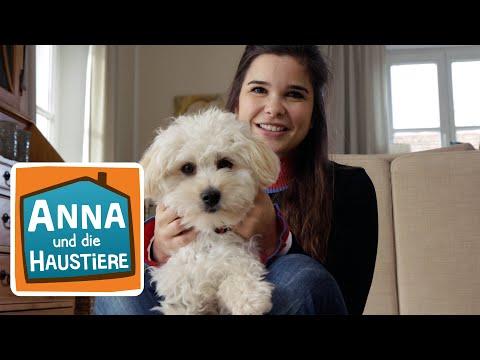 Maltipoo   Information für Kinder   Anna und die Haustiere