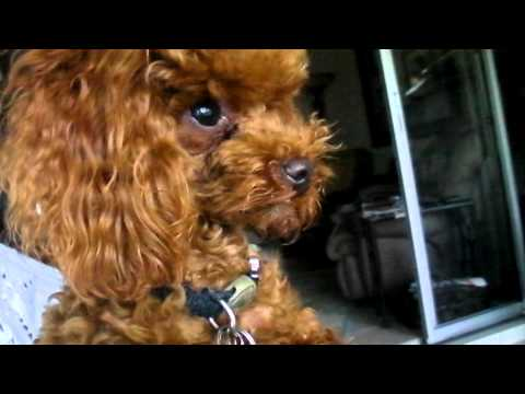 Little Buddy My Toy Red Poodle Crying over the Duckies in the Yard FUNNY CUTE DOG