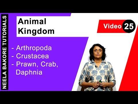 Animal Kingdom - Arthropoda - Crustacea - Prawn, Crab, Daphnia
